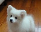 精品宠物狗纯种日本尖嘴银狐犬银狐幼犬白色狐狸狗