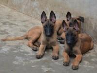 纯种马犬 血统马犬 包健康 正规养殖