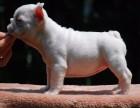纯种法国斗牛犬幼犬出售 品相好 包纯种健康 可签协议