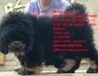 买藏獒小藏獒到十年老基地青海西宁獒响中国原生藏獒繁育基地