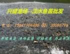 批发草鱼苗/鲤鱼苗/鲫鱼苗/青鱼苗/花鲢苗/白鲢苗