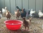 大型元宝鸽个体户散养鸽子基地出售元宝鸽