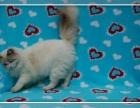北京市最大养殖基地赛级 布偶幼猫 质保三年亲选可送货签署合同