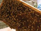 【原料批发】老蜂巢蜜约3kg整张巢蜜**养蜂专业合作社直供