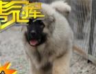 俄罗斯护卫犬 熊版高加索幼犬 血统纯正 专业繁殖