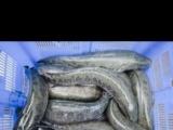 黑鱼、各种成品鱼、鱼苗出售