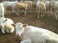 急农村合作社出售肉牛奶牛