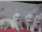 3白转让我家大狗生的一窝漂亮的天使萨摩耶!