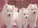 微笑天使萨摩耶宠物狗出售,健康纯种,多只可挑选签协