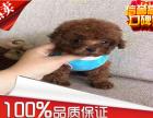 纯种韩系泰迪熊 茶杯 玩具 可爱至极 购买可签订协
