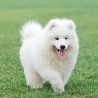 惠州哪里有萨摩耶幼犬 惠城城区哪里有卖萨摩耶幼犬