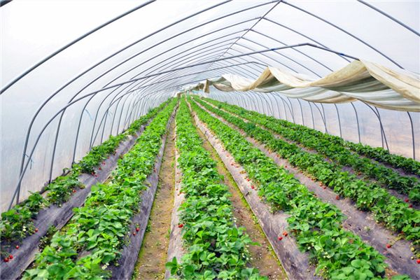 山东规模大的采摘园温室大棚建设生产基地,采摘园温室大棚建设