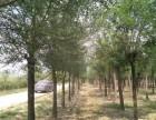 江苏60公分法桐树基地提供多种苗木