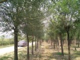 陕西20公分合欢树厂家直销