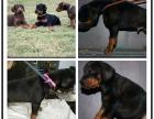 本地犬舍出售纯种杜宾犬 双血统带证书