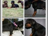 本地犬舍出售纯种杜宾犬 双血统带证书 直接来电
