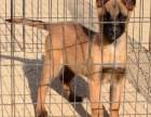 马犬价格全国较低 马犬多少钱一只 加微信送豪礼