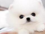 珠海 宠物狗 宠物繁殖基地长期出售各类宠物幼犬 包纯种包健康