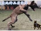 幽灵犬是马犬吗多少钱一只