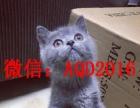 猫舍出售俄罗斯蓝猫 包纯种健康 可签协议