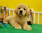 大頭寬嘴金毛幼犬 黃金獵犬 純種金毛犬 公母都有