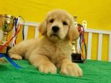 忠心 聪颖 矫健帅气温和的金毛寻回猎犬是您的好伙伴