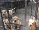 上海金毛多少钱 上海纯种金毛价格 上海哪里卖健康的金毛犬