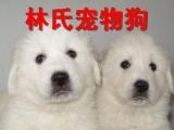 疫苗做好包纯种健康大白熊犬出售 佛山哪里有卖大白熊犬小狗