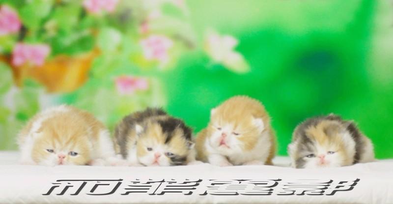 加菲丽影 异国短毛猫 优质加菲猫出售(持续更新)