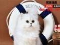 自家出售纯种绿眼金吉拉 短毛猫 无病无癣包健康疫苗
