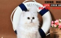 出售纯种金吉拉异国短毛猫呆萌保质量纯种健康