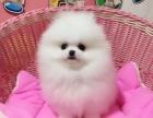 哪里有卖博美博美多少钱博美图片博美幼犬