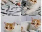 纯种加菲猫幼猫毛色多样可选保证健康