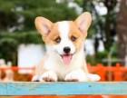 哈尔滨柯基多少钱 哈尔滨哪里有卖健康的柯基幼犬 双色柯基犬