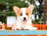北京哪里卖柯基犬 纯种柯基多少钱一只 双色柯基 赛级柯基