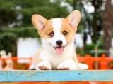 北京哪里賣柯基犬 純種柯基多少錢一只 雙色柯基 賽級柯基