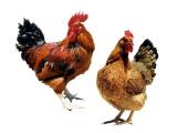 供应河南优惠的青年鸡|湖南青年鸡