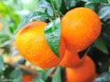 四川柑橘苗 中国橘子小镇