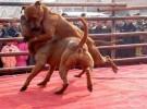 比特血统犬 比特斗咬视频 比特价格 比特幼崽