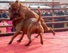 比特血统犬 比特斗咬 比特价格 比特幼崽