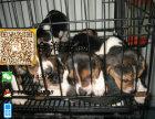 宠物狗纯种比格犬活泼可爱疫苗驱虫已做齐全包健康签协议