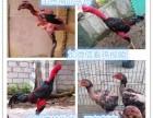 出售大量元宝鸽斗鸡孔雀鸵鸟