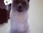 暹罗猫猫公猫出售