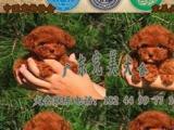 佛山禅城哪里买狗信誉比较好禅城张槎哪里有卖泰迪熊犬