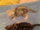稀有毛色金棕色大虎斑苏格兰折耳猫