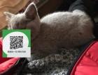 东莞哪里有蓝猫出售 东莞蓝猫价格 东莞宠物猫转让出售