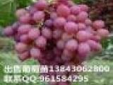 齐齐哈尔出售葡萄苗 占地苗 出售果树苗 种植栽培枸杞苗
