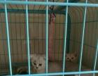 自家繁育的小猫找家