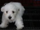 精品高品质萌宠超可爱西高地幼犬 质保纯种健康出售