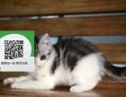 南阳哪里有虎斑猫出售 南阳虎斑猫价格 南阳宠物狗出售信息